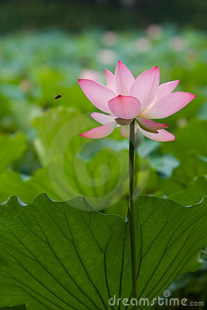 Free Bee And Lotus Stock Photography - 18285632