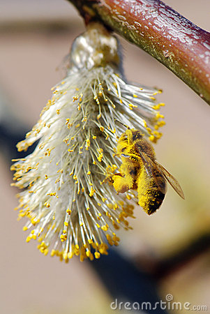 Free Bee And Pussy-willow Royalty Free Stock Photo - 18778405