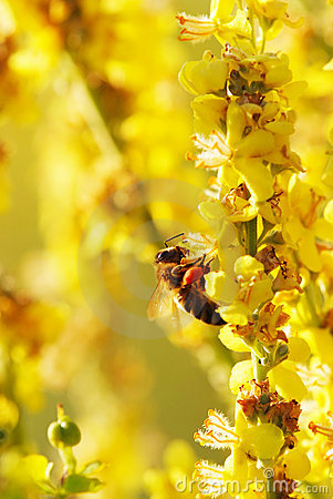 Free Bee And Yellow Flower Royalty Free Stock Photography - 15098657