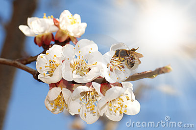 Bee On An Apricot Bloom Stock Photos - Image: 8441673