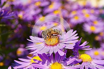 Bee on the Autumn Flowers