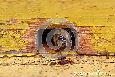 Bee in beehive
