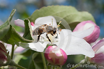 Bee in the blossom