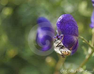 The bee  on a blue flower.