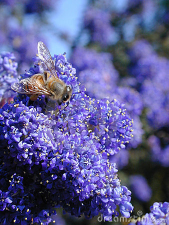 Bee in Blue Flowers Stock Photo