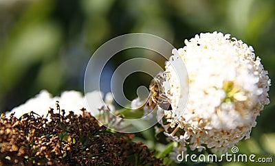 Bee on buddleja