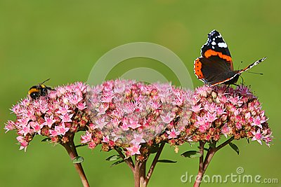 Bee and Butterfly on Pink Flower