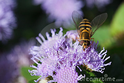 Bee carabinae sitting on purple flower ageratum