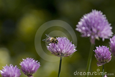 Bee on Chives Allium Schoenoprasum in flower, in a