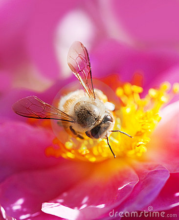 Free Bee Collecting Honey Royalty Free Stock Photo - 17462515