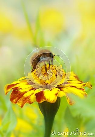 Free Bee Collecting Honey Stock Image - 17682601