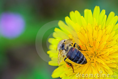 Bee collecting honey from a dandelion flower