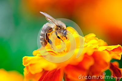 Bee collecting pollen from calendula flower