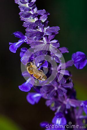 Free Bee Collecting Pollen From Mealy-Cup Sage Stock Photos - 29919863