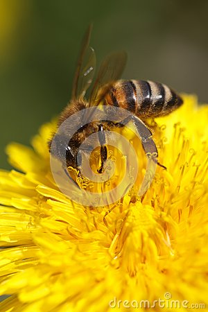 Bee collecting pollen on yellow dandelion. macro.