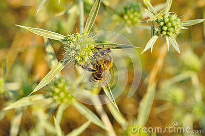 Bee collects honey