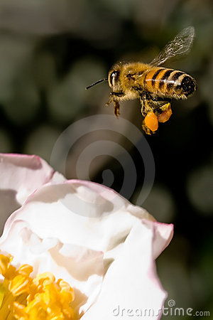 Free Bee Coming In To Land Stock Image - 9667191