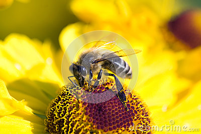 Bee on cone flower collects nectar