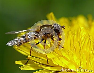 Bee on dandelion flower