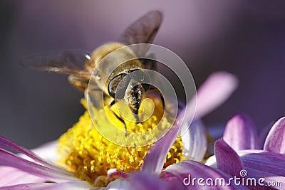 Bee detail on garden mums