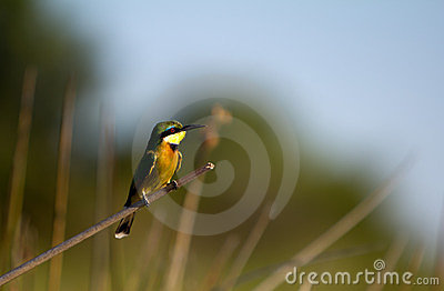 Bee Eater Royalty Free Stock Photos - Image: 23394508