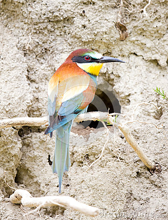 Free Bee-eater In Front Of Nest Royalty Free Stock Photo - 54683185