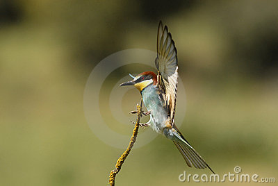 A Bee-eaters flying