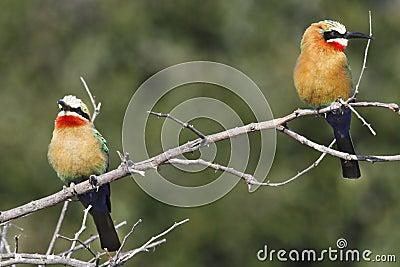 Bee-Eaters - Okavango Delta - Botswana