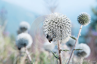 Bee eats a thistle