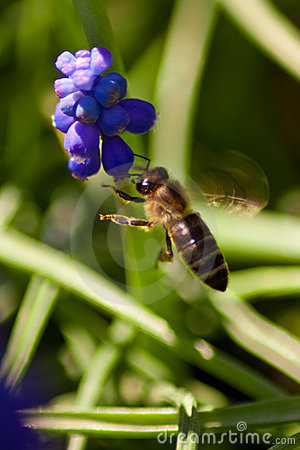 A bee in flight, with a blue flower