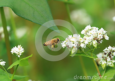 Bee and flower of buckwheat