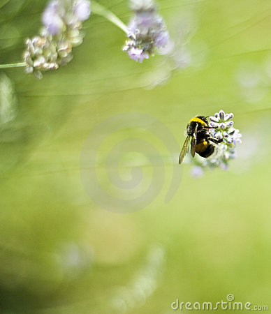 Bee on flower, collecting Pollen