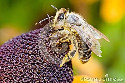 Bee on the flower in macro
