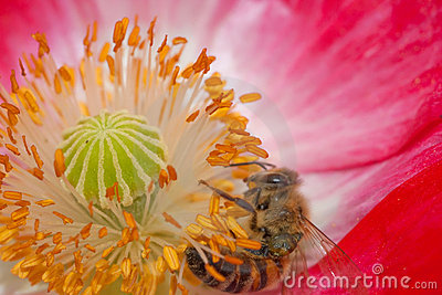 Bee in the flower with pollen