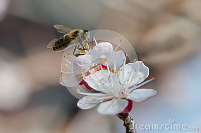 Bee on a flowering branch of apricot