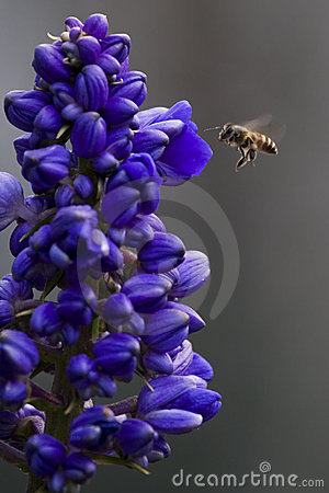 Free Bee Flying Royalty Free Stock Photos - 3562418