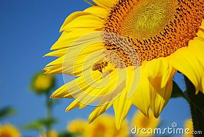Bee flying around sunflower