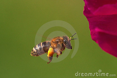 Bee flying in front of a flower