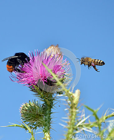 Free Bee Flying To Wild Flower Stock Photo - 42981010