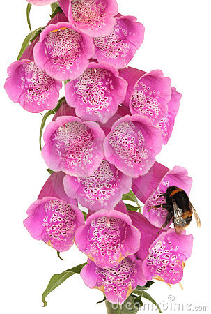 Bee and Foxglove Flower