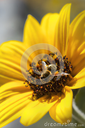 Bee gathering nectar from a sunflower