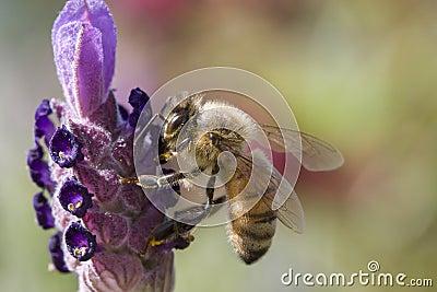Bee gathering pollen