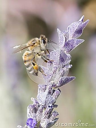 Free Bee Gathering Pollen Royalty Free Stock Photo - 6756545