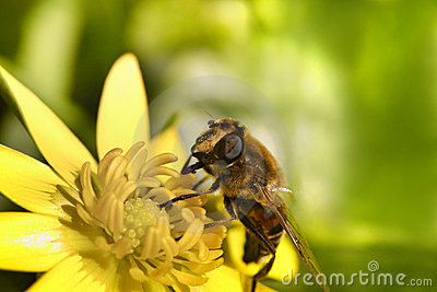 A bee gathering pollen on top of a yellow flower