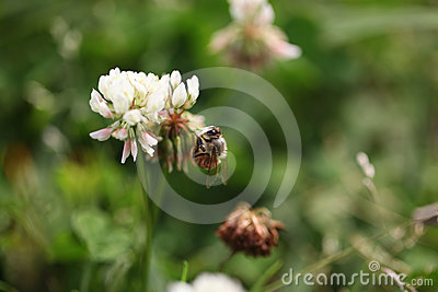 Bee on grass flower