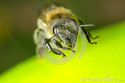 Bee on a green ball