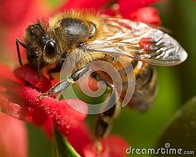 Bee on grevillea