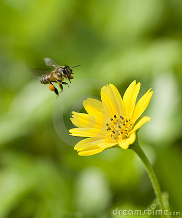 Free Bee In Flight Stock Photography - 11300872