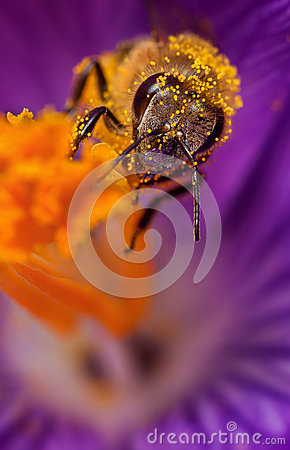 Free Bee In Flower Royalty Free Stock Images - 67439689
