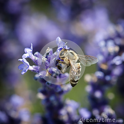 Bee and lavandula flower